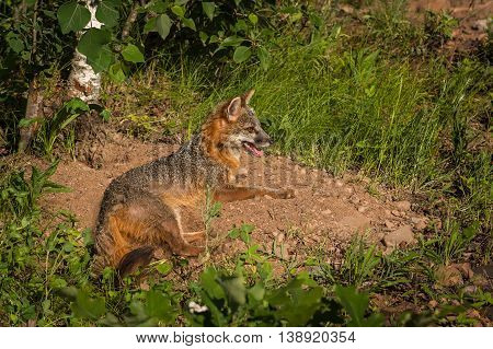 Grey Fox Vixen (Urocyon cinereoargenteus) Lies in Sun - captive animal