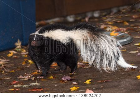 Striped Skunk (Mephitis mephitis) Stands Near Home - captive animal