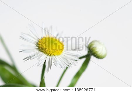 ox-eye daisy flower on white background closeup