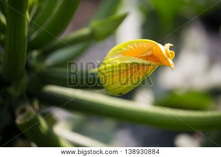 Courgette bloom on field, in summer , agriculture