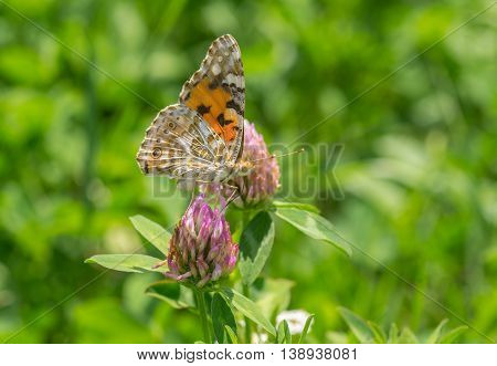 Painted Lady (Vanessa cardui) butterfly sucking nectar on a wild clover