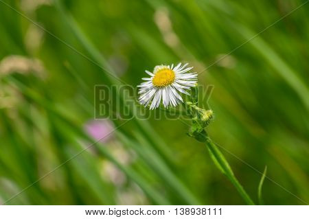Lonely Erigeron annuus flower in summer time among green herbs