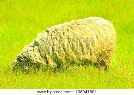 sheep with dense fleece grazes on the green grass of pasture