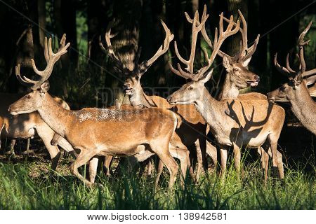 Herd of deer red on the woods