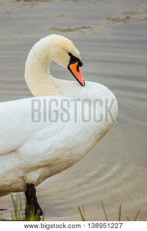 White Swan cleans feathers standing in water