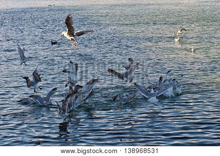 Flock of Seagulls snatch fish in the sea.