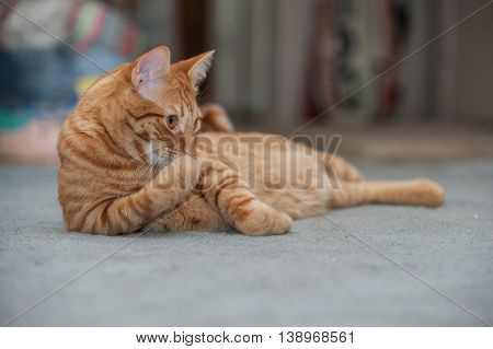 Furry Tabby cat cleaning and grooming his paws.