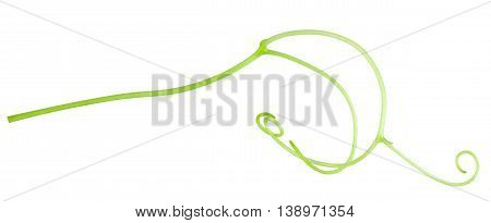 grape tendril isolated on the white background.