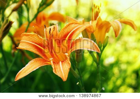 Lily flowers in summer. Shallow depth of field.