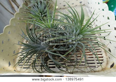 Tillandsia in basket on morning nature background