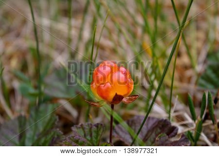 "Cloudberry, also known as the ""highland gold"", on blurred background, in the mountains of Norway."