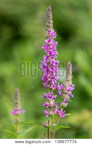 Purple loosestrife (Lythrum salicaria) inflorescences. Flower spikes of plant in the family Lythraceae associated with wet habitats