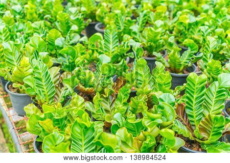 Green Asplenium in garden