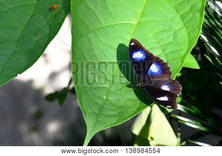black butterfly and shadow of it on the leaf