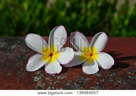 Beautiful plumeria place on the stone in the garden
