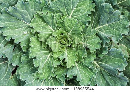 Fresh big green cabbage in the garden