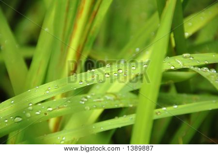 Water Drops On Blades Of Grass