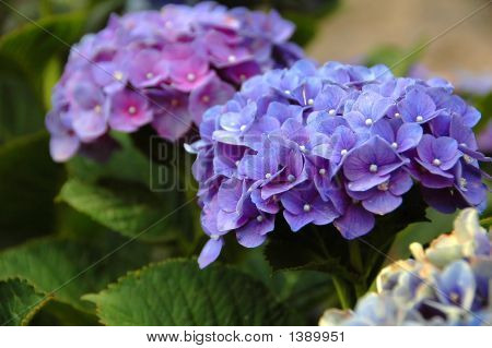 Hydrangea In The Azores