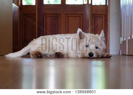 Bored west highland terrier westie dog waiting in hallway by front door for a walk.