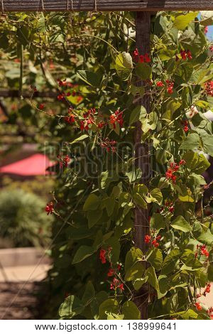 Scarlet runner pole beans growing on a vine in an organic garden in spring in Southern California.