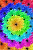 Gerbera daisies composited in a rainbow spiral poster