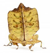 Phyllium Westwoodii, a stick insect, in front of white background poster