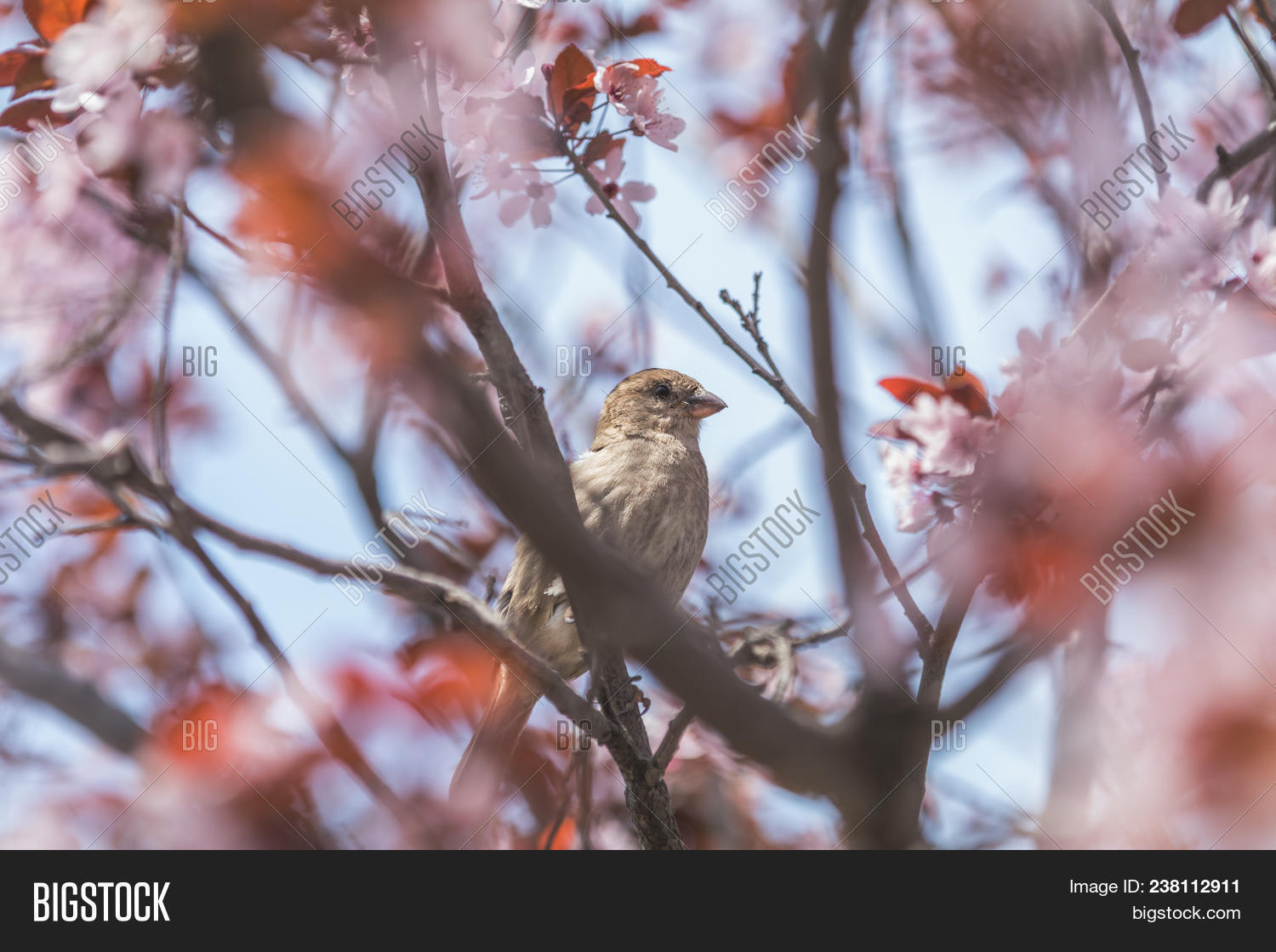 Sparrow On Pink Apple Image Photo Free Trial Bigstock