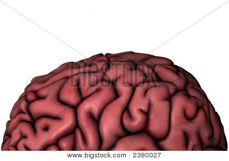 Human Brain Gyri Close-Up View On White Background