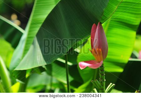 Beautiful Pink Flowering Banana On Tree And Green Banana Leaves In Garden, Pink Banana Flowers On Tr