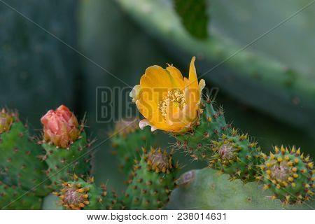 Prickly Pear Cactus (opuntia, Ficus-indica, Indian Fig Opuntia)
