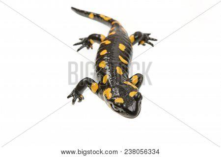 Fire Salamander (salamandra Salamandra) On A White Background