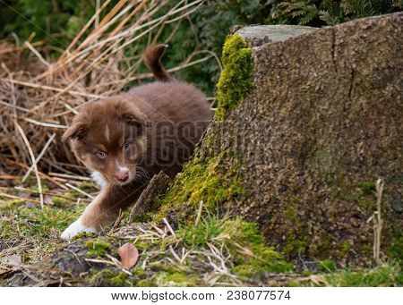 Australian Shepherd purebred dog on meadow in autumn or spring, outdoors countryside. Red Tri color Aussie puppy, 2 months old.