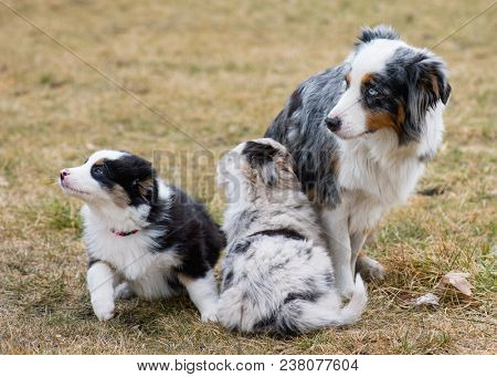 Australian Shepherd purebred dog on meadow in autumn or spring, outdoors countryside. Aussie puppy with mother, 2 months old.