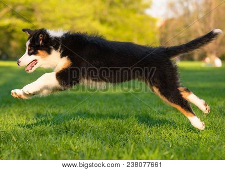 Happy Aussie dog runs and jump on meadow with green grass in summer or spring. Beautiful Australian shepherd puppy 3 months old running at field. Cute dog enjoy playing at park outdoors.