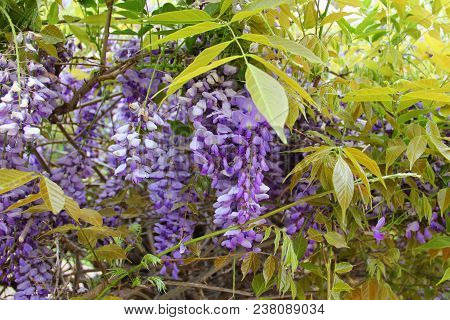 Blooming Wisteria, Pale Purple Clusters Of Flowers Hang Down Among The Leaves So Green, The Colors O