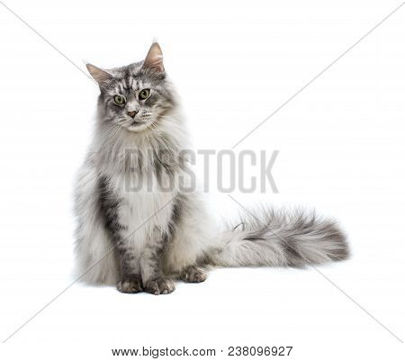 Portrait Of  Maine Coon Cat. Curious Young Grey Striped Cat Isolated On White Background.
