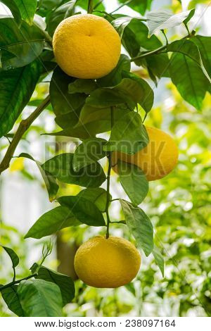 Branch Orange Tree Fruits Green Leaves.agriculture Concept.