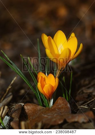 The Small Yellow Crocus First Spring Flowers