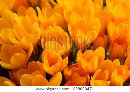 View Of Magic Blooming Spring Flowers Crocus Growing In Wildlife. Yellow Crocus Growing From Earth O