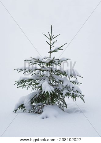 Single Pine Tree Covered With Snow In The Winter