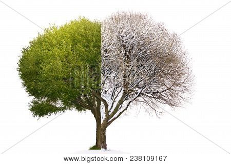 Collage Mixed Tree Image Consist Of Summer And Winter Mating Parts / Collage Tree Winter Vs. Summer