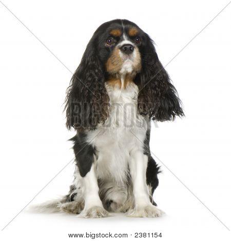 Cavalier King Charles Spaniel (2 Years)