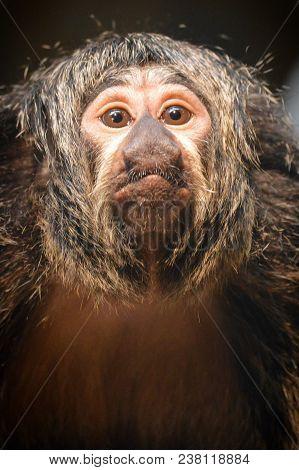 Close up of a female Saki monkey
