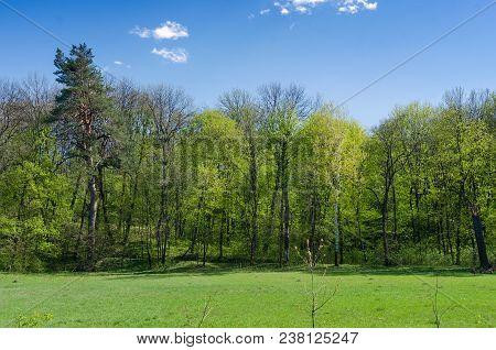Forest Spring Landscape - Dense Forest Trees In Park In Sunny Weather, Forest Trees Under Blue Sky.