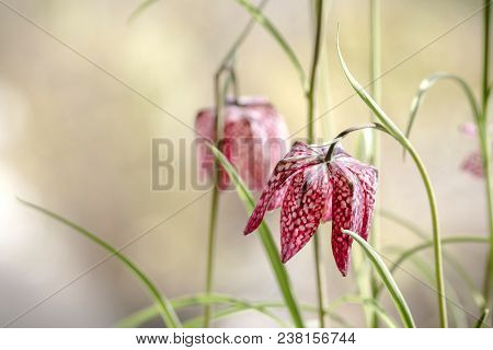 Snakes Head Fritillary Flowers In The Spring With Red Flowerheads On Green Stalks