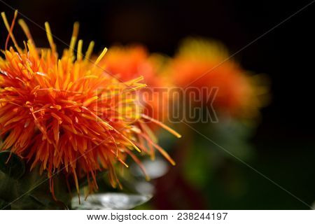 A Close Up Image Of A Group Of Orange Safflowers