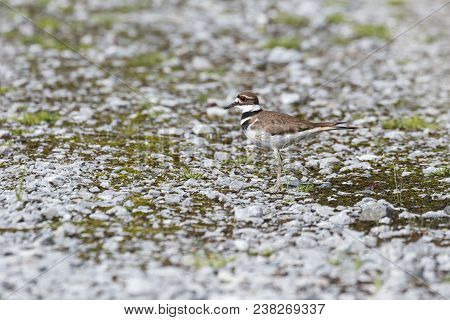 Killdeer Bird On Ground At Vancouver Bc Canada