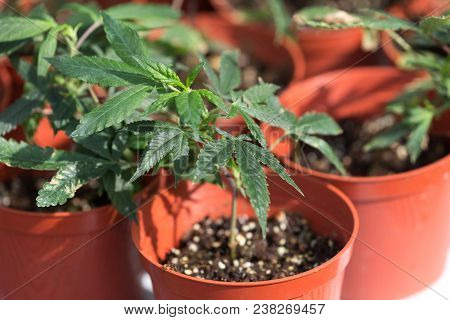 Marijuana Plant Growing, Green Leaves Close Up.