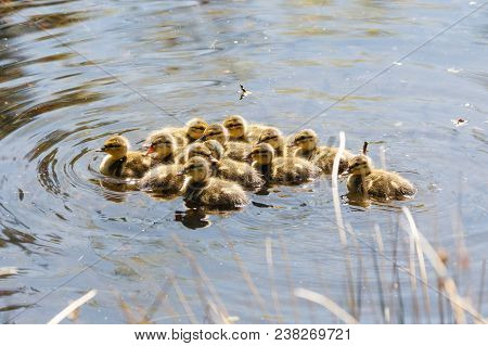 Young Mallard Chicks At Vancouver Bc Canada