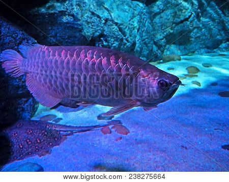 Closeup Adult Arowana Under Colorful Lights Isolated On Nature Background